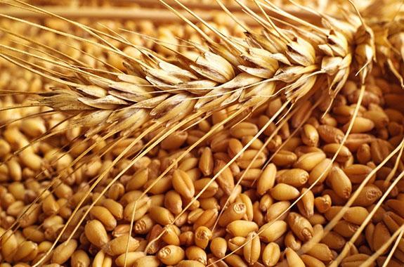 الزراعة بالقاهرة : نتابع على مدار الساعة ازالة العقبات التى تعيق توريد القمح
